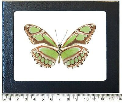 Real Peruvian Lime Green Dido Verso Metallic Butterfly Framed