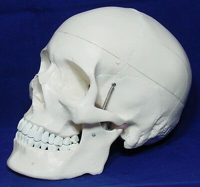 Life Size Anatomical Human Skull Model 3 parts High Quality New