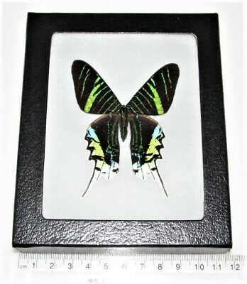 Real Framed Day Flying Moth Urania Leilus Sunset Moth Peru