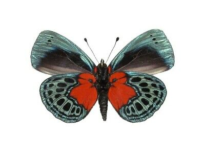 One Real Butterfly Blue Red Callithea Optima Papered Unmounted Wings Closed