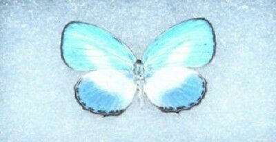 One Real Butterfly Blue White Indonesian Danis Papered Unmounted Wings Closed