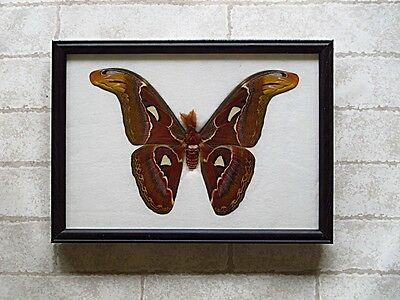 Real Big Attacus Atlas Moth (M) Butterfly Taxidermy Framed Insect Home Decor