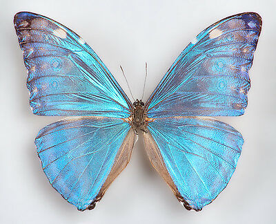 One Real Butterfly Blue Morpho Adonis Wings Closed Unmounted Papered