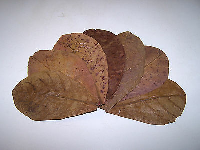 "10 Small, 4 - 7"", INDIAN ALMOND (CATAPPA) LEAVES - Shrimp / Bettas / Discus etc"