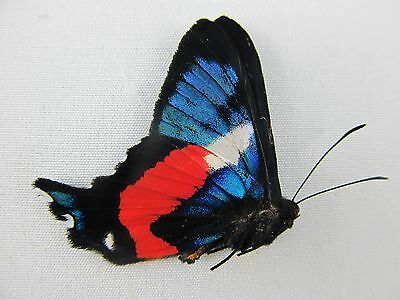 One Real Butterfly Blue Ancyluris Formosissima Papered Unmounted Wings Closed