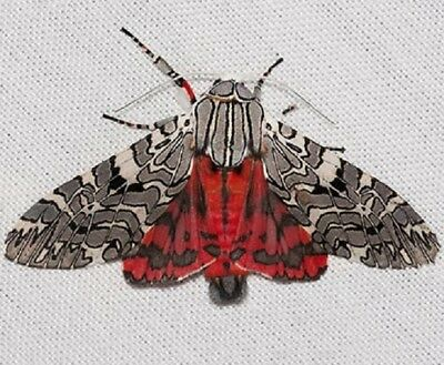 One Real Moth Arizona Arachnis Aulea Male Wings Closed Papered Unmounted