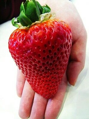 Red Giant Juicy Strawberry Seeds Garden Plant Fruit Seed Free Post To Australia