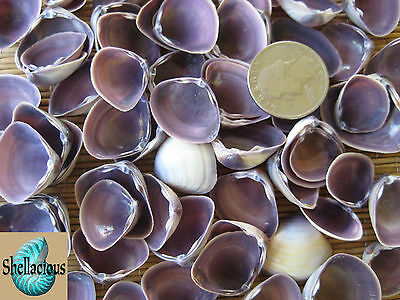 """1/2 CUP OF SMALL PURPLE CAY CAY SEA SHELLS - 3/4"""" to 1-1/8"""" Wide"""