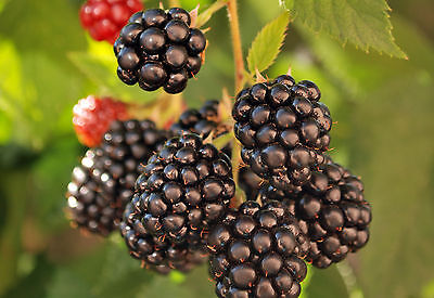 3 X Blackberry 'Merton Thornless ' in 9cm Pot Thornless and Very Heavy Cropping