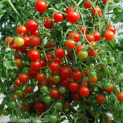Tomato Sweet Pea Currant 25+ Organic SEEDS Hangingbaskets COMBINED SHIPPING