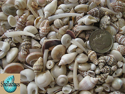 """300+ LIGHT COLORED MIX OF TINY SEA SHELLS -5/8"""" & Under - 1/3 Cup"""