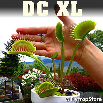 20 Venus Fly Trap Seeds of Giant and Special Varieties