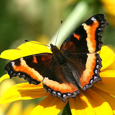 One Wings Closed Milberts Tortoiseshell Aglais Milberti Butterfly Unmounted