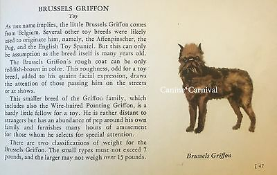 Brussels Griffon Dog Rare Vintage Art Drawing Breed Description From 1939