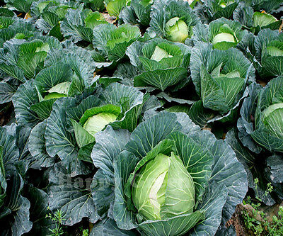 VEGETABLE - CABBAGE 1100 SEEDS - Amsterdam White Ballhead -  POPULAR