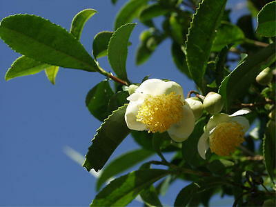 Rare CAMELLIA sinensis Green Tea Seeds Fresh Fragrant From China