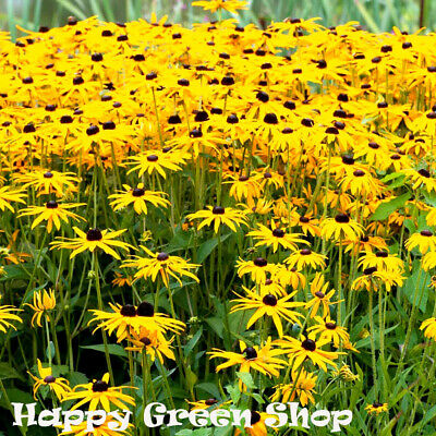 FLOWER RUDBECKIA HIRTA - 1800 SEEDS - BLACK EYED SUSAN - Golden Yellow