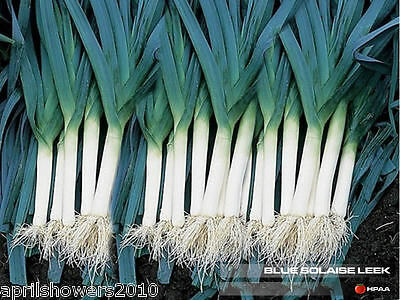 Leek Blue Solaise VERY HARDY French Winter Heirloom 150+ Seeds COMBINED SHIPPING