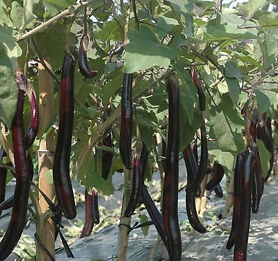Eggplant Ping Tung Long  HARDY HEIRLOOM COMBINED SHIPPING 25+ ORGANIC  SEEDS