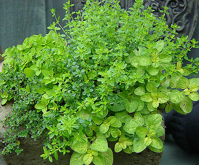 Herbs 6 Varieties Seeds Dill Parsley Cilantro Chive Oregano Thyme