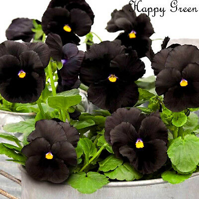 PANSY BLACK - 300 seeds - BIENNIAL FLOWER  Viola wittrockiana LARGE FLOWER HEADS