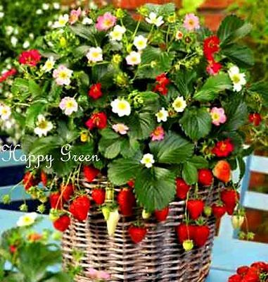 Strawberry Trailing Rainbow Treasure F1 - Fragaria x ananassa - 5 SEEDS F1