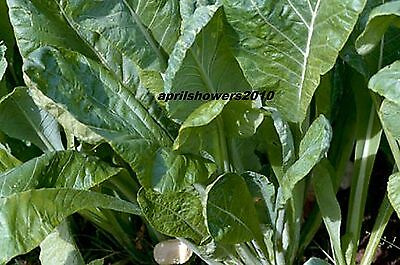 Komatsuna Japanese  Spinach  MILDER GREENS VERY HARDY EARLY 45 DAYS COMB/SHIP