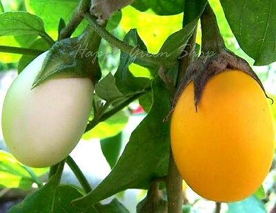 VEGETABLE - AUBERGINE - GOLDEN EGGS - 20 SEEDS -  WHITE TO YELLOW - Solanum m.