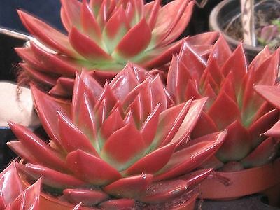 Echeveria Seeds 20 Exotic Mixed Colours Rare Succulent Cactus Garden Plant Seed