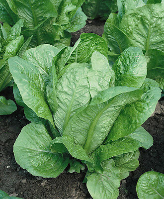 Romaine Lettuce Parris Island   CAESAR  SALADS Combined Shipping 600+Seeds