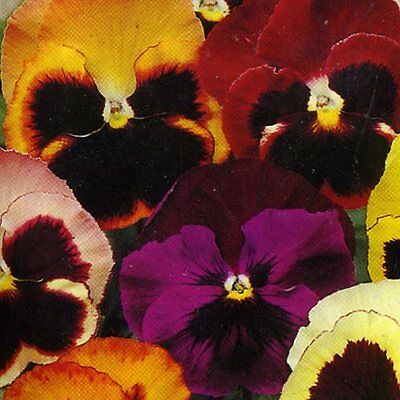 Pansy Swiss Giant Mix 150 Heirloom Seeds - Excellent Color Range -