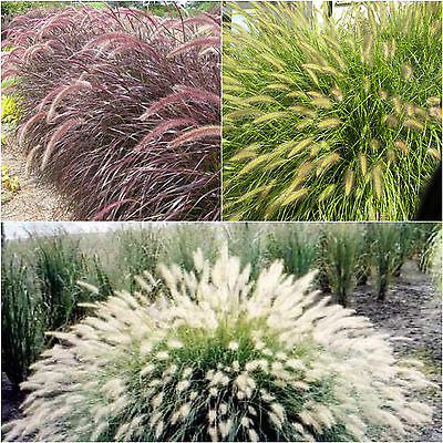 Fountain Grass Seeds Fresh Mixed Purple Green White Ornamental Flower Plant Seed
