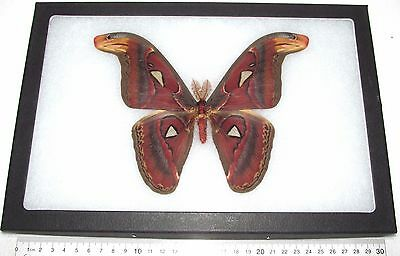 Real Framed Saturn Moth Attacus Atlas Moth Male Saturniidae Indonesia