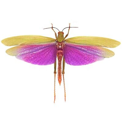 Real Purple Titanacris Albipes Grasshopper Wings Closed Unmounted Papered