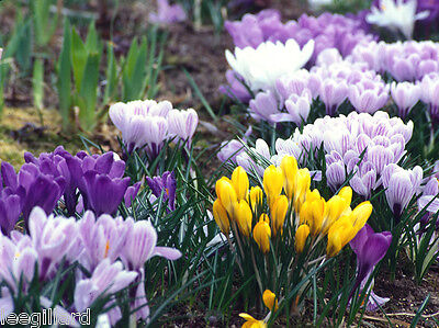 Wholesale Spring Flowering  Bulbs Snowdrops/ Crocus/ English Bluebell Daffodil
