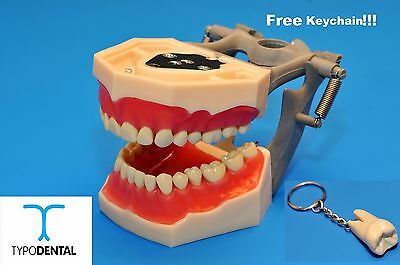 Dental Typodont Model FG3 / AG3 works with Frasaco brand teeth (Free Keychain)