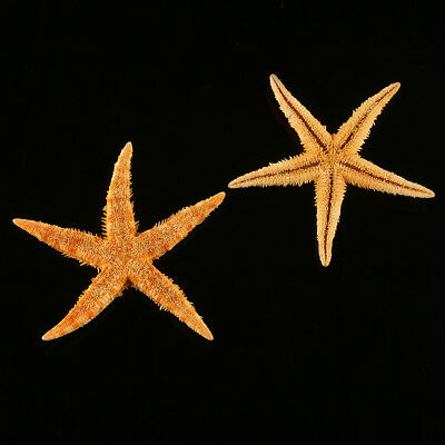 20Pcs Tan Flat Yellow Star Shell Starfish Wedding Party Craft Decor 8cm-12cm