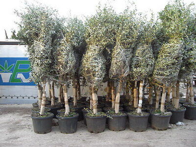 olivenbaum olea europaea pflanze 170cm frost essbare. Black Bedroom Furniture Sets. Home Design Ideas