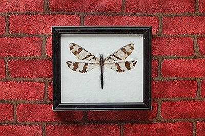 Real Giant Camouflaged Antlion Insect Taxidermy Home Decoration
