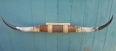 NOW NEW 5 feet WIDE TEXAS LONGHORN MOUNTED BULL HORN POLISHED WITH STEER Of COW