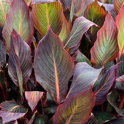 CANNA LILY PHASION striking multicoloured leaves