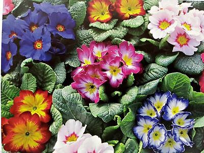 20 Polyanthus Plug Plants Primula Vulgaris Primrose mixed colours F1 bicolour