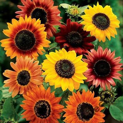 SUNFLOWER - SUMMER BEAUTY - 80 seeds Helianthus mix of varietes & colors