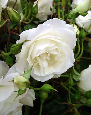 2 x Beautiful 'Iceberg' White Floribunda Rose (Bare Root) FREE Postage UK