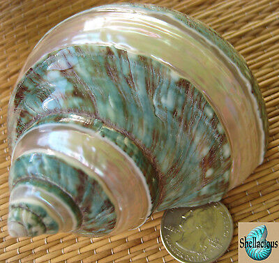 """1 Banded Polished Jade Turbo Sea Shell - 3-7/8"""" Tall - Hermit Crab Or Collection"""