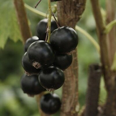 Ben Nevis 3 x Blackcurrant Plants 9cm pot British Grown and delivered free!