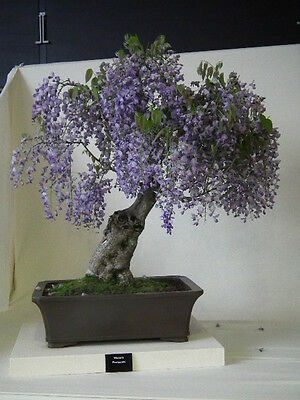 * Paulownia Tomentosa * Blue Royal Empress * Bonsai Tree * Rare * 10 Seeds *