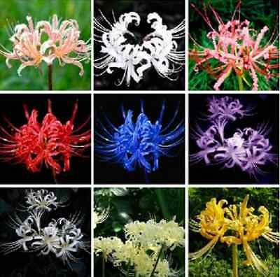 [FREE SHIPPING] Mix Color 100 Seeds/Lot Lycoris Radiata-Spider Lily Seeds