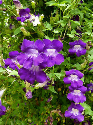 TWINING SNAPDRAGON MIX - Asarina scandens 10 seeds - Climber with tubular flower