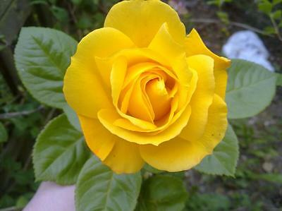 2x Beautiful Yellow 'Arthur Bell' Climbing Rose (Bare Root) FREE Postage UK